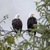 Bald eagles near Mendelson Glacier